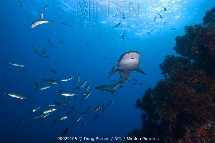 Broadnose, Bluntnose sevengill shark, Spotted cow shark, (Notorynchus cepedianus) with Mackerel (Trachurus sp) New Zealand, South Pacific Ocean  -  Doug Perrine/ npl