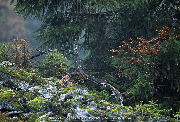 Eurasian Lynx (Lynx lynx) young male camouflaged among rocks, Sumava National Park, Bohemia, Czech Republic  -  Niall Benvie/ npl
