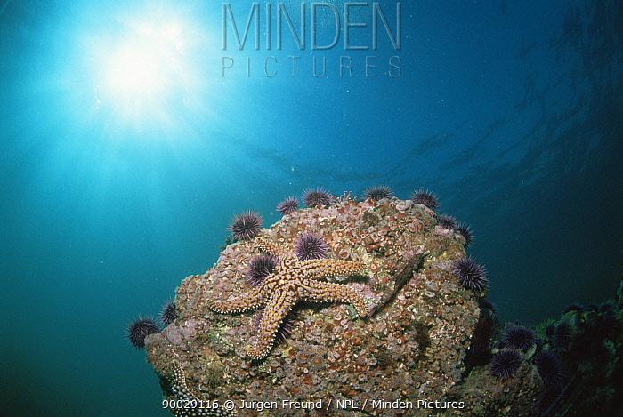 Sea Star (Asteroidea)Sea star and purple sea urchins on rock, California, Pacific  -  Jurgen Freund/ npl