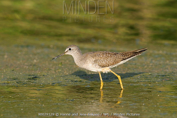Lesser Yellowlegs (Tringa flavipes) winter plumage, Muscat, Oman  -  Hanne & Jens Eriksen/ npl