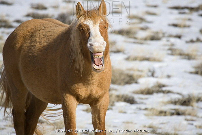 Mustang (Equus caballus), young chestnut stallion with its mouth open Pryor Mountains, Montana  -  Carol Walker/ npl