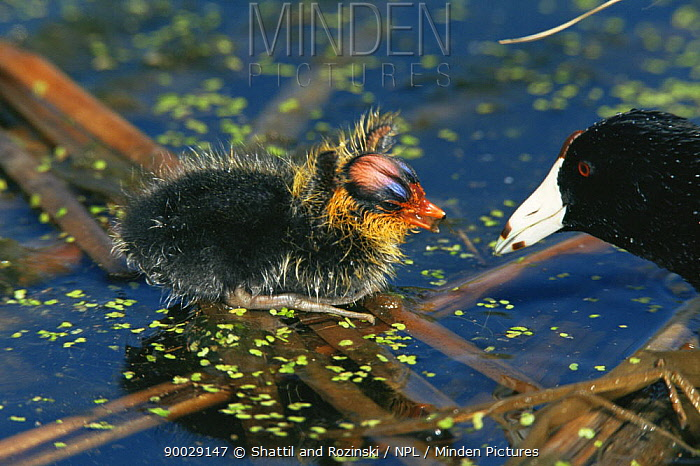 American Coot (Fulica americana) chick and adult, Colorado  -  Shattil & Rozinski/ npl