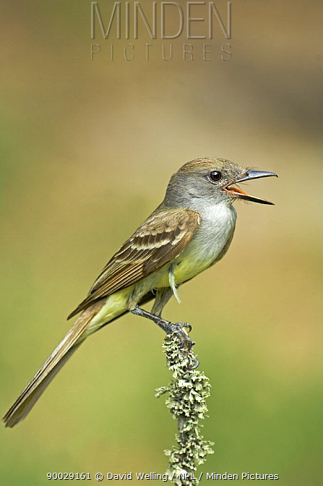 Brown-crested Flycatcher (Myiarchus tyrannulus) singing, Rio Grande Valley, Texas  -  David Welling/ npl