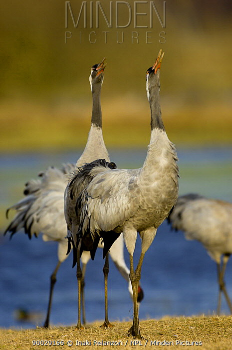 Common Crane (Grus grus) pair calling display, Lake Hornborgasj�n, Sweden  -  Inaki Relanzon/ npl