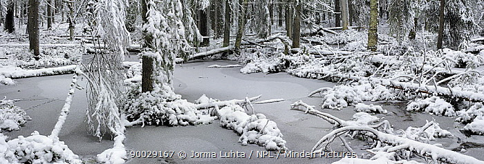 First snow on woodland wetlands, October, Finland  -  Jorma Luhta/ npl