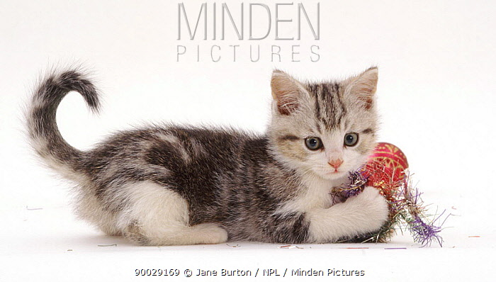 Domestic Cat (Felis catus)Silver tabby-and-white kitten, 8 weeks old, playing with Christmas tinsel  -  Jane Burton/ npl