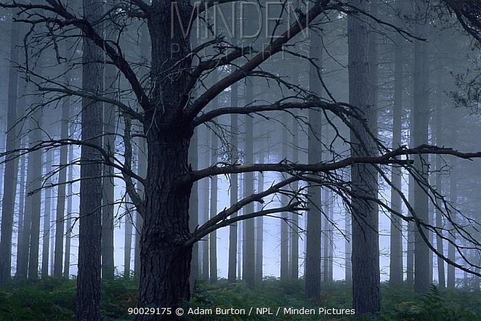 Misty plantation on the New Forest, Hampshire, UK  -  Adam Burton/ npl