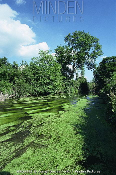 River Mole chalk stream, Surrey, UK  -  Adrian Davies/ npl