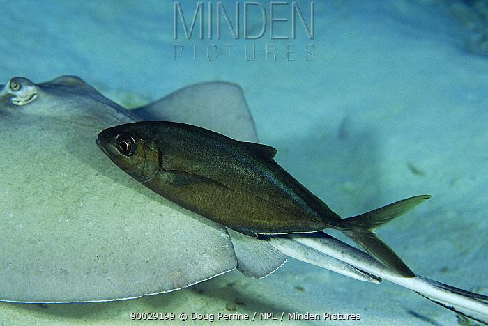 Bar jack, dark phase (Caranx ruber) follows Stingray to scavenge food, Cayman Is,  -  Doug Perrine/ npl