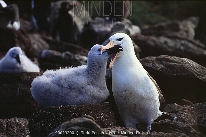 Black browed albatross (Diomedea melanophrys) feeding chick, Falkland Islands  -  Todd Pusser/ npl