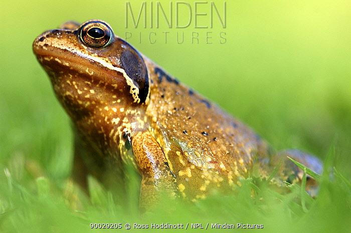 Common Frog (Rana temporaria) Cornwall, United Kingdom  -  Ross Hoddinott/ npl