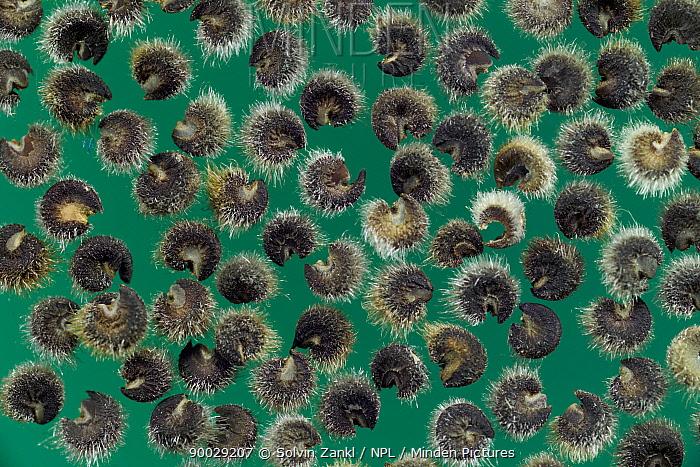 Musk Mallow (Malva moschata) seeds, Europe  -  Solvin Zankl/ npl