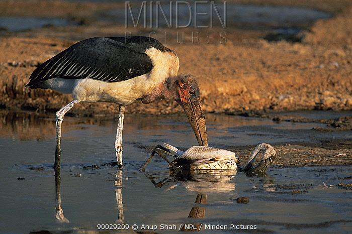Marabou Stork (Leptoptilos crumeniferus) predating Lesser Flamingo (Phoeniconaias minor), Lake Bogoria, Kenya Sequence 2, 2  -  Anup Shah/ npl