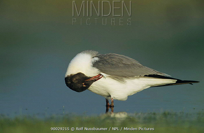 Laughing Gull (Larus atricilla) adult preening, Welder Wildlife Refuge, Sinton, Texas  -  Rolf Nussbaumer/ npl