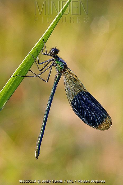Banded Demoiselle (Calopteryx splendens) male, United Kingdom  -  Andy Sands/ npl