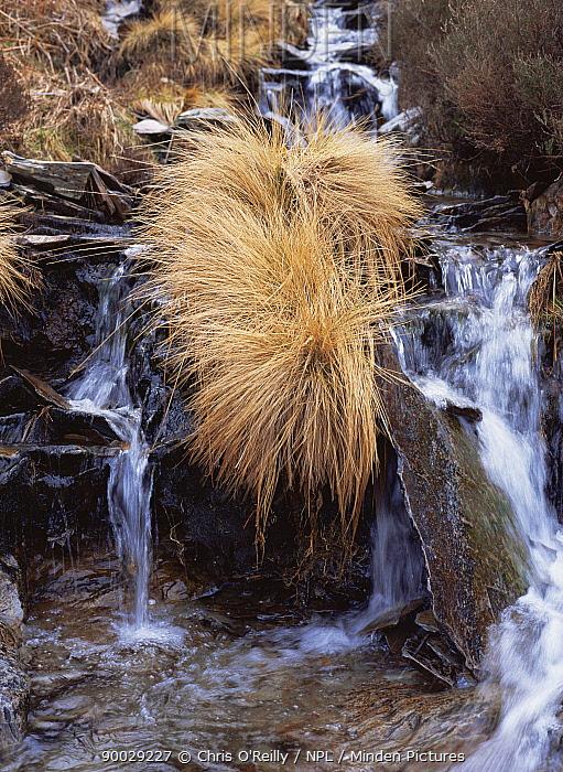 Moor Grass (Molinia caerulea) growing beside a stream in winter, sequence 2, 2, Elan valley, Wales  -  Chris O'Reilly/ npl