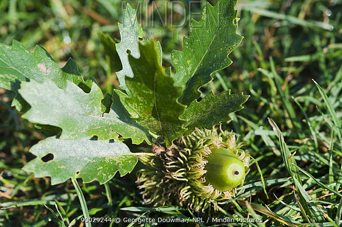 Acorn and leaves of Turkey oak (Quercus cerris) UK, Introduced to the UK from Turkey in 19th Century  -  Georgette Douwma/ npl