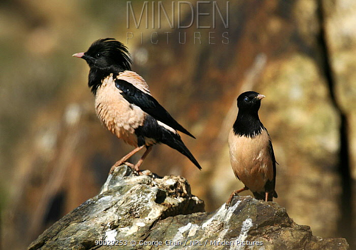 Rosy Starling (Sturnus roseus) pair on a rock, Xinjiang Province, North-west China, BBC Wild China series  -  George Chan/ npl