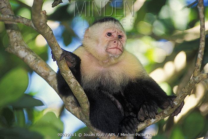 White-faced Capuchin (Cebus capucinus) sitting in tree, Manuel Antonio National Park, Costa Rica  -  Jouan & Rius/ npl