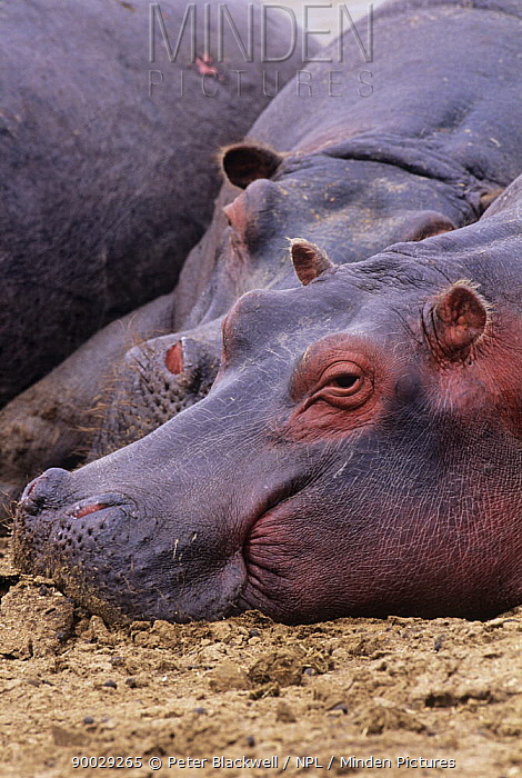 Hippopotamus (Hippopotamus amphibius) relaxing in the mud Masai Mara reserve, Kenya  -  Peter Blackwell/ npl