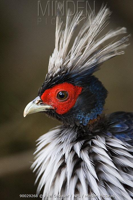 Kalij pheasant (Lophura leucomelanos) male, Tibet, China  -  Dr. Axel Gebauer/ npl