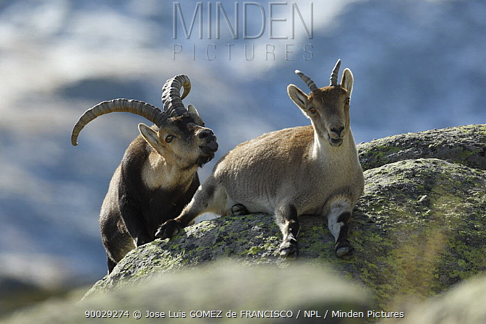 Pyrenean Ibex (Capra pyrenaica) male scenting female, Sierra de Gredos, Spain  -  Jose Luis Gomez De Francisco/ np