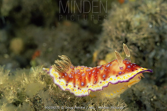 Nudibranch (Chromodoris collingwoodi) Bali, Indonesia  -  Doug Perrine/ npl