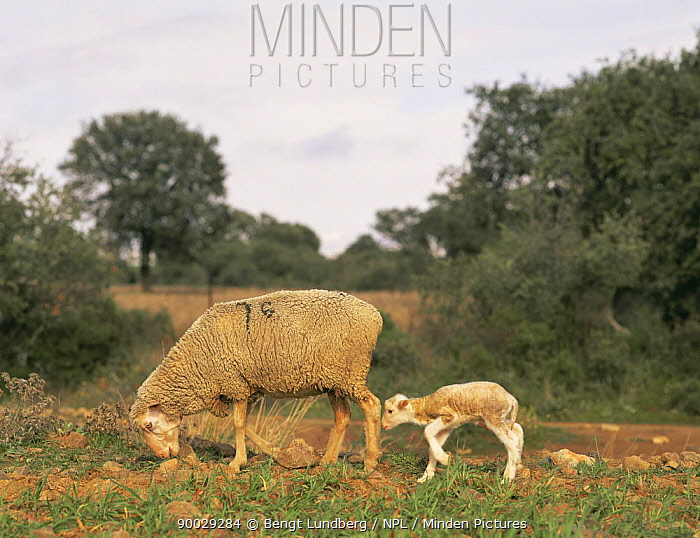 Domestic Sheep (Ovis aries) with mother, Extremadura, Spain  -  Bengt Lundberg/ npl
