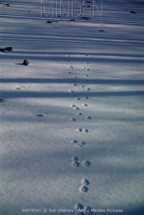 Red Fox (Vulpes vulpes) tracks and shadows of trees in snow Far East Russia  -  Yuri Shibnev/ npl