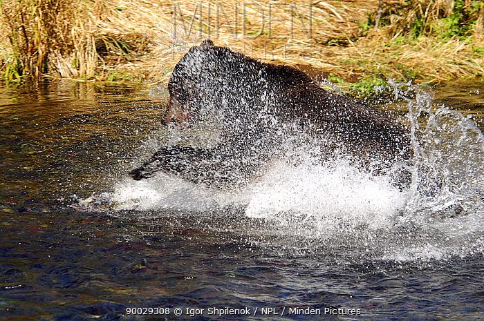 Brown Bear (Ursus arctos) chasing Salmon in river, Kronotsky Zapovednik Reserve, Kamchatka, Russia  -  Igor Shpilenok/ npl