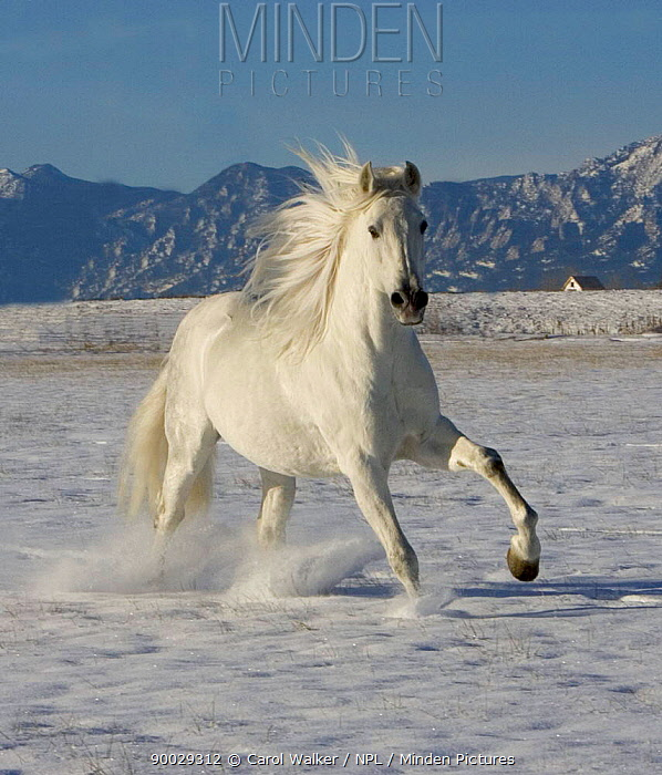 Gray Andalusian Stallion (Equus caballus) cantering in snow, Longmont, Colorado, USA  -  Carol Walker/ npl
