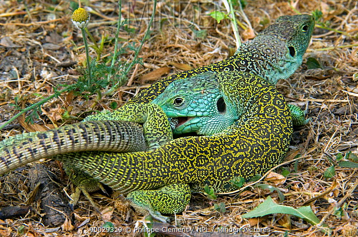 Eyed Lizard (Lacerta lepida) mating, Extremadura, Spain  -  Philippe Clement/ npl