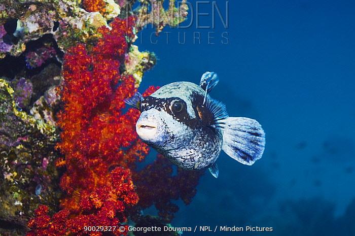Masked Puffer (Arothron diadematus) Red Sea  -  Georgette Douwma/ npl