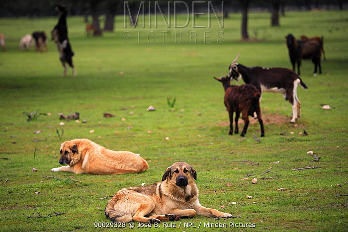 Spanish mastiff dogs (Canis familiaris) resting whilst guarding flock of goats, Spain  -  Jose B. Ruiz/ npl