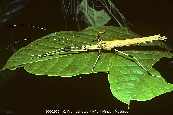 Stick insect, walkingstick (Stratoctes sp) female with large, yellow wings; in rainforest, Peru  -  Premaphotos/ npl