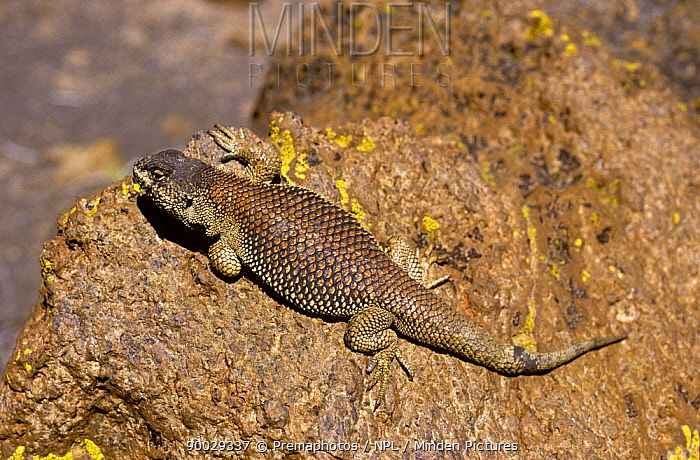 Lava lizard (Liolaemus multiformis) basking on Andean altiplano at 4300m, Chile  -  Premaphotos/ npl