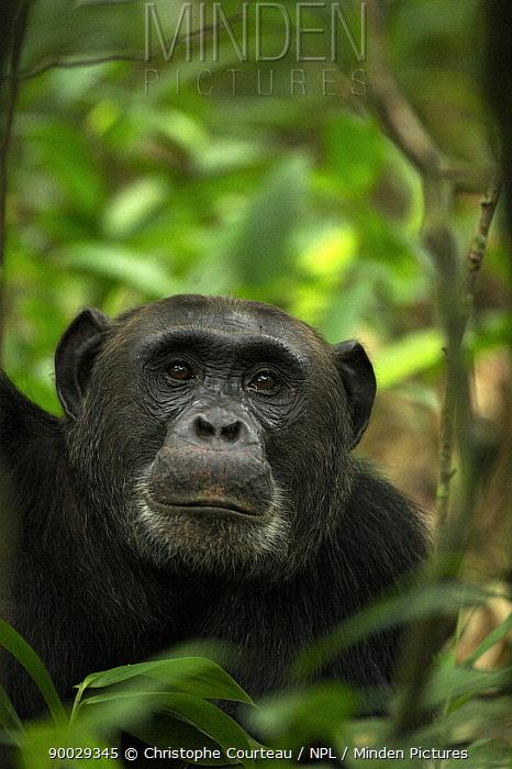 Eastern Chimpanzee (Pan troglodytes schweinfurthii) portrait amongst foliage Kibale National Park, Uganda  -  Christophe Courteau/ npl