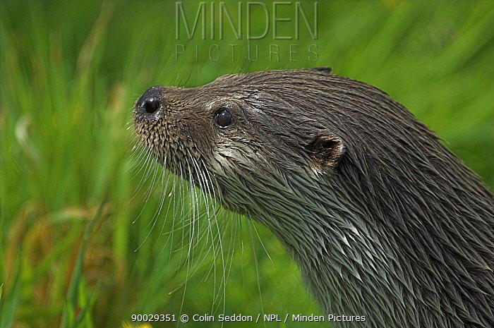 European River Otter (Lutra lutra) head profile, captive, United Kingdom  -  Colin Seddon/ npl