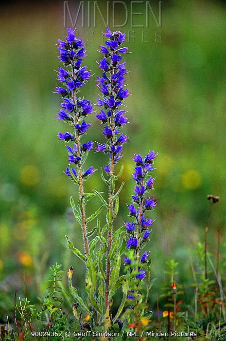 Blueweed (Echium vulgare) Peak District National Park, Derbyshire, United Kingdom  -  Geoff Simpson/ npl