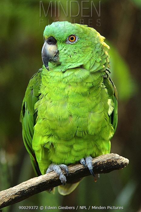 Mealy Parrot (Amazona farinosa) Costa Rica  -  Edwin Giesbers/ npl