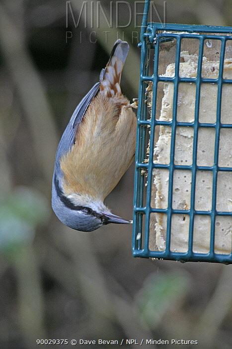 Wood Nuthatch (Sitta europaea) feeding from fat feeder, Wales  -  Dave Bevan/ npl