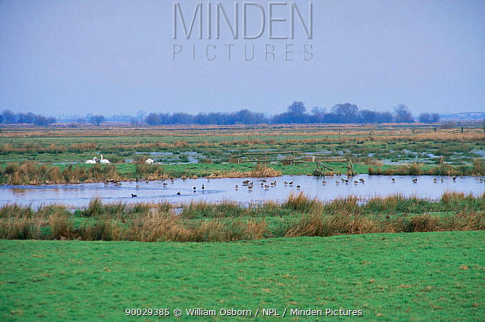 Waterfowl on West Sedgemoor RSPB Reserve in winter, Somerset, UK  -  William Osborn/ npl