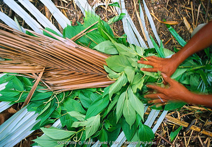 Making a smoker tool from bamboo and palm leaves to drive Giant honey bees (Apis dorsata binghami) from nest before harvesting wild honey, North Pamona sub-district, Sulawesi, Indonesia  -  Solvin Zankl/ npl