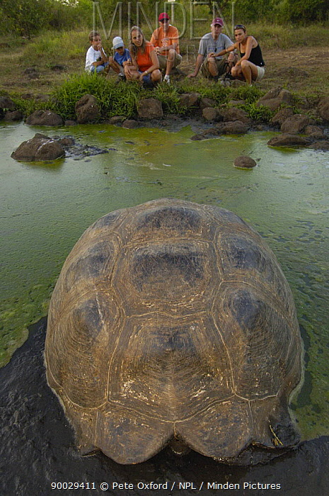 Tourists watching Galapagos Giant Tortoise(Geochelone elephantophus porteri) wallowing in rain water pool, Highlands, Santa Cruz Is, Galapagos 2006  -  Pete Oxford/ npl