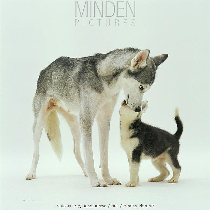 Siberian Husky interacting with puppy  -  Jane Burton/ npl