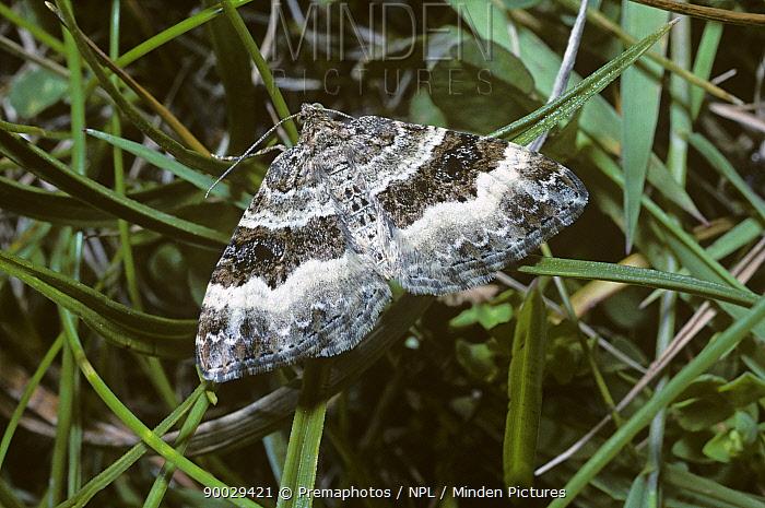 Common Carpet (Epirrhoe alternata) United Kingdom  -  Premaphotos/ npl