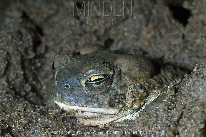 Arizona toad (Bufo microscaphus) burrowing in mud and showing the transparent inner eyelid or nictating membrane, Arizona, USA Captive  -  Philippe Clement/ npl