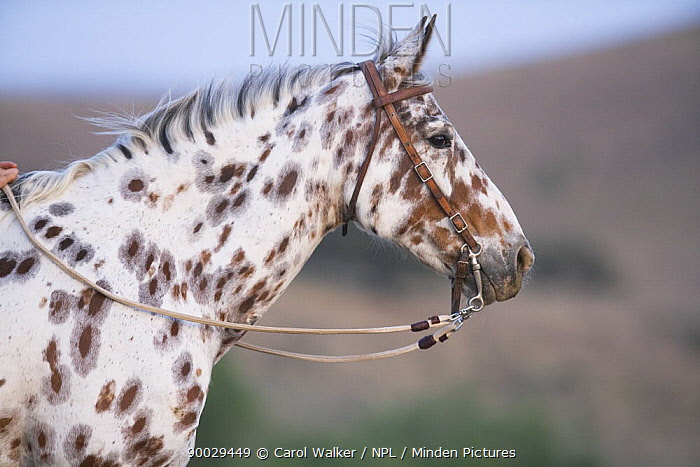 Leopard Appaloosa horse, head portrait, Ojai, California, USA  -  Carol Walker/ npl