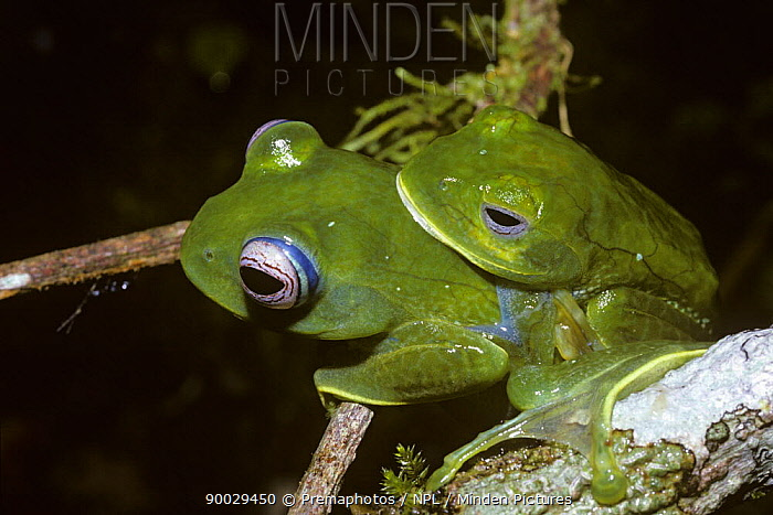 Malagasy Web-footed Frog (Boophis luteus) in amplexus on a tree branch in the rainforests of Madagascar  -  Premaphotos/ npl