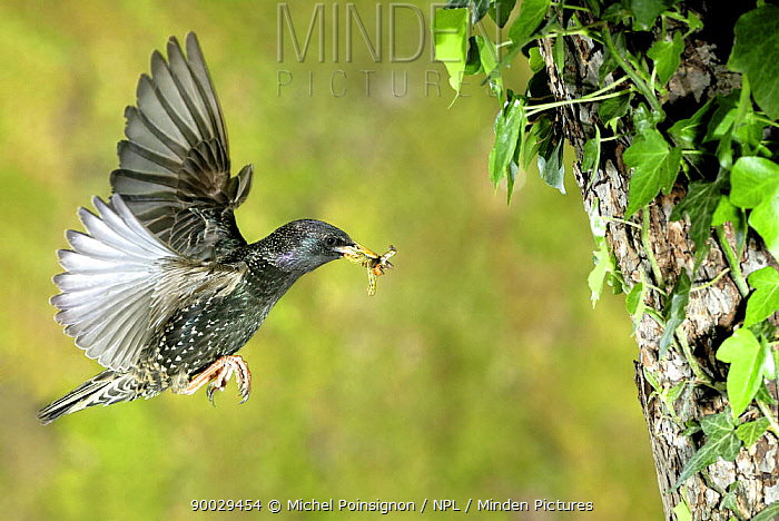 Common Starling (Sturnus vulgaris) flying to nest hole with food, Lorraine, France  -  Michel Poinsignon/ npl